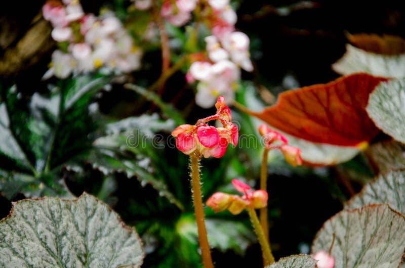Begonia, ocurren naturalmente en climas húmedos en Asia tropical y subtropical, fotos de archivo libres de regalías