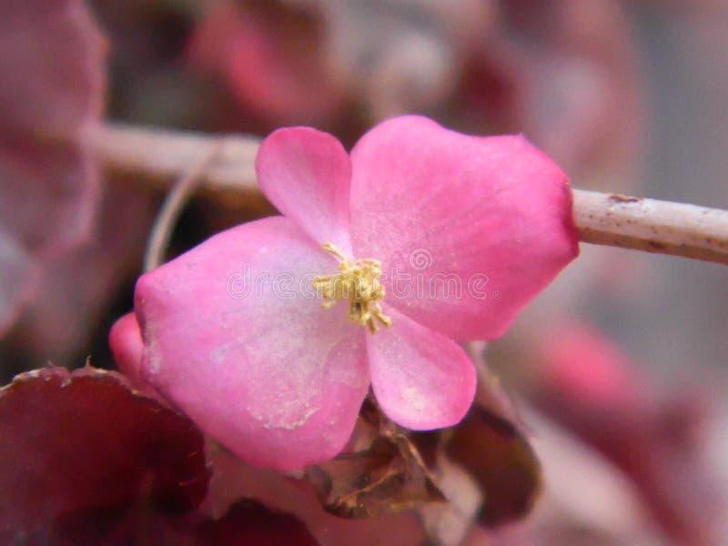 Begonia Pink Flower Nature royaltyfria bilder