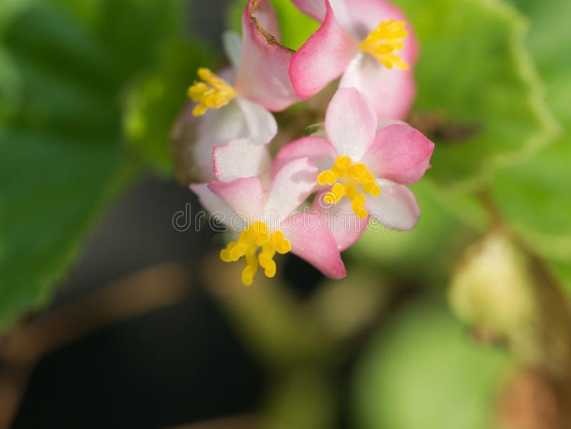 Begonia Pollen Flowers Blooming stock afbeelding