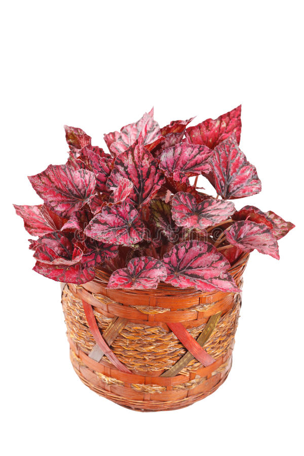 Begonia in pot. On white royalty free stock image