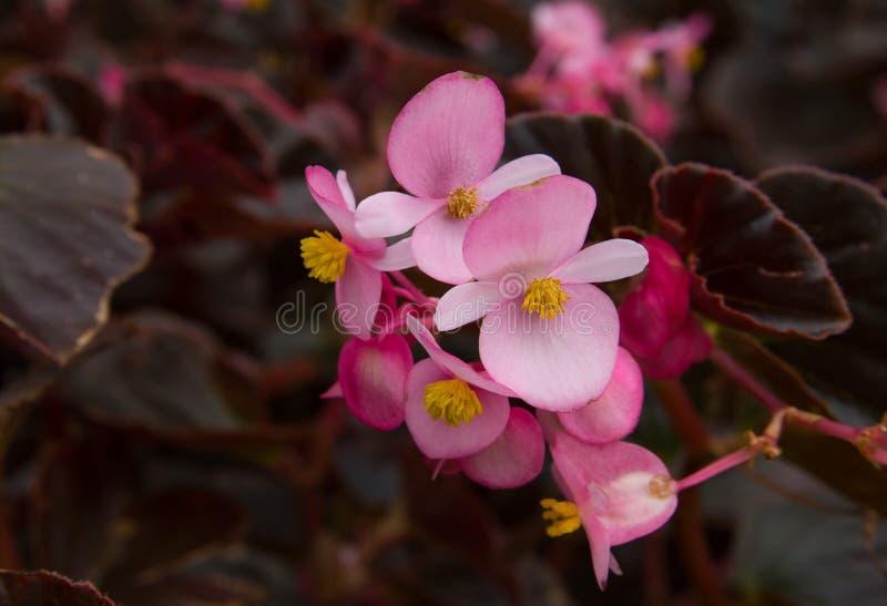 Begonia rosa dei fiori con le foglie rosse intorno fotografia stock