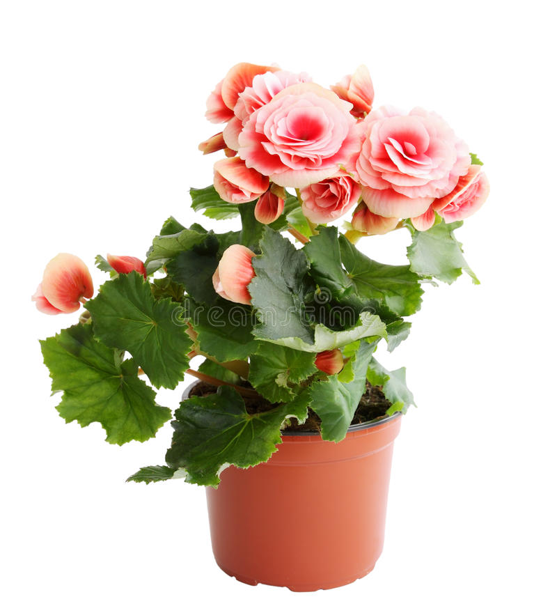 Begonia rosada foto de archivo libre de regalías