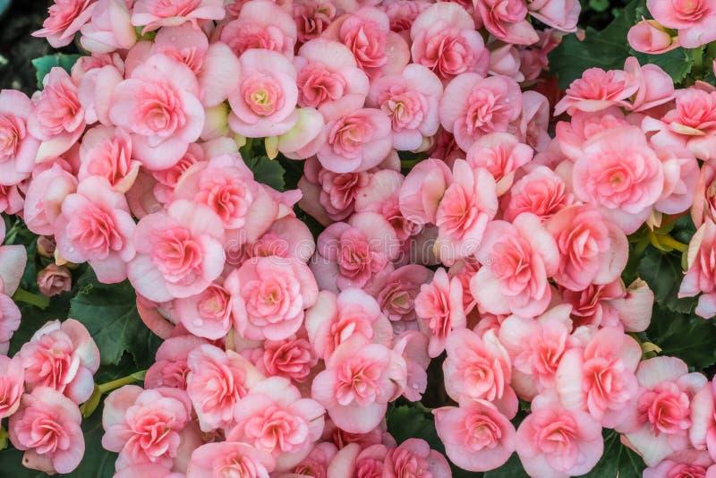 Begonia rosada hermosa imágenes de archivo libres de regalías