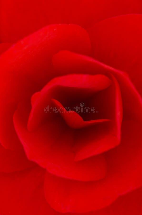 Begonia rossa immagini stock