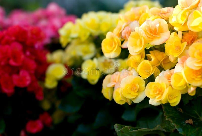 Begonia Semperflorens imagen de archivo libre de regalías