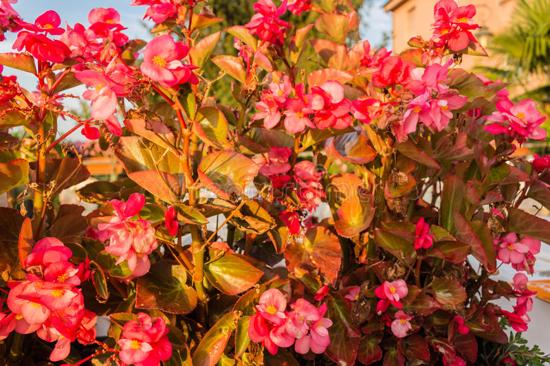 Begonia succulent flowers royalty free stock photos
