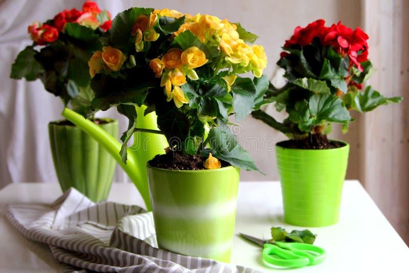 Begonia in una piantatrice ceramica con un annaffiatoio immagini stock