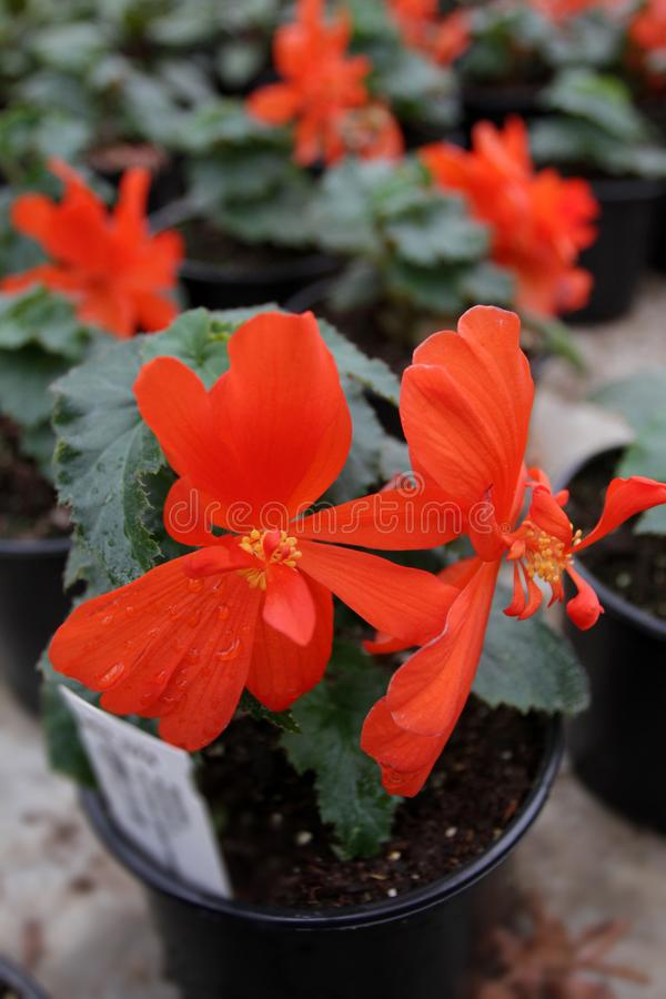 Begonia. Unique begonia flowers field. Begonia in pots. Floral pattern. Flowers background.  stock image