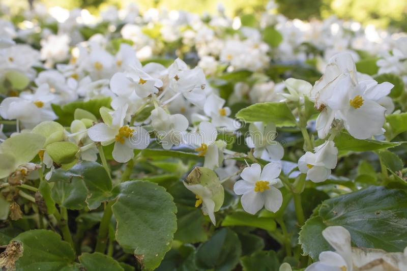 Begonia white flower close up shoot. It was filmed inside the park royalty free stock image