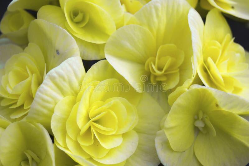Begonia yellow flowers royalty free stock image