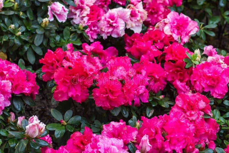 begoniaen blommar pink arkivfoto