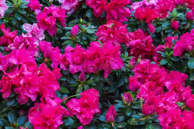 begoniaen blommar pink arkivbild
