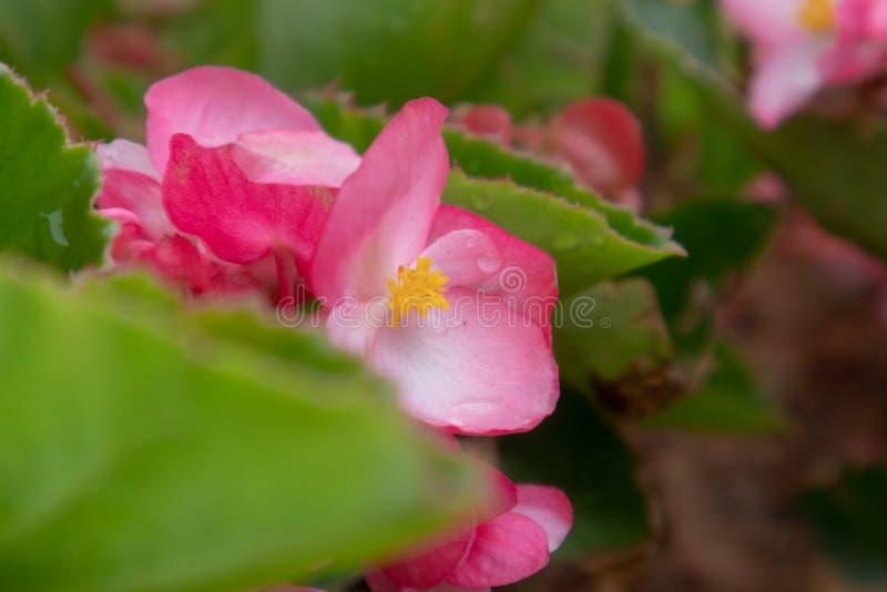 Begoniagrandis torkar royaltyfri bild