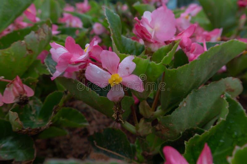 Begoniagrandis torkar arkivbilder