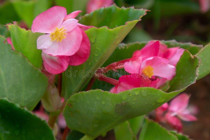 Begoniagrandis torkar arkivbild