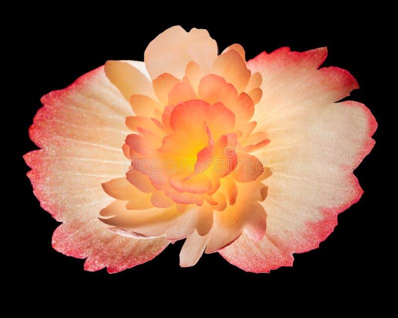 Begonian är en dekorativ växt för färgrik blomma som isoleras på svart fotografering för bildbyråer