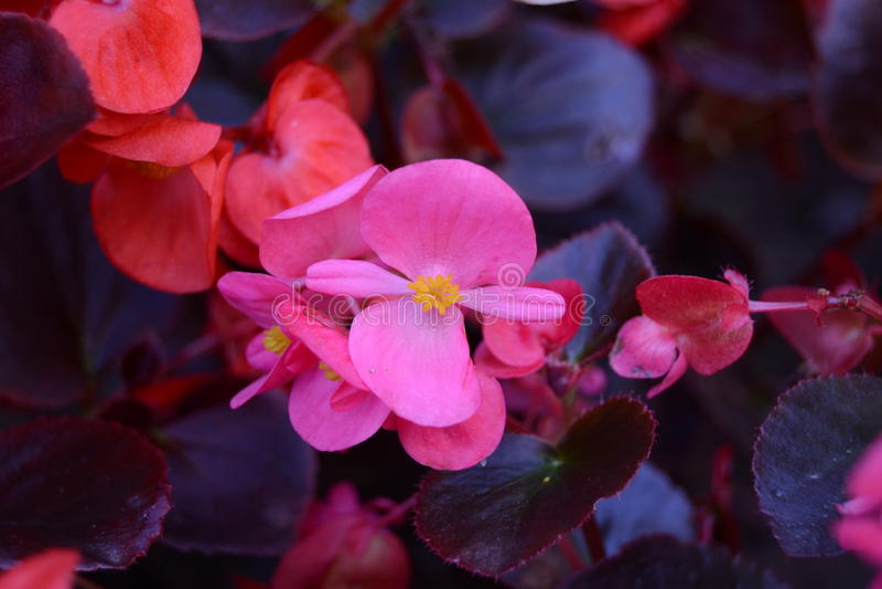 Begonias χρώματος στοκ φωτογραφία