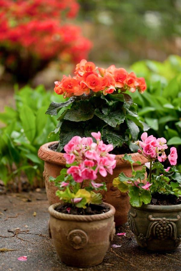 Begonias en crisoles imagen de archivo libre de regalías