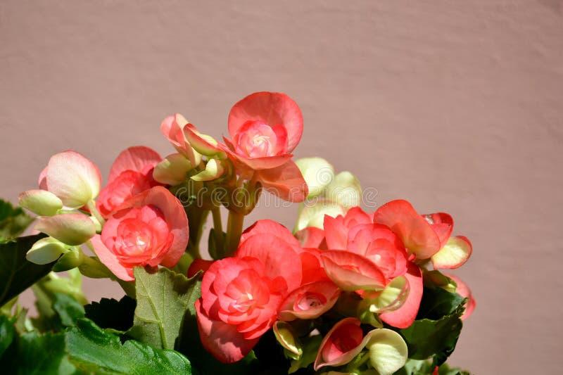 Begonie di fioritura immagine stock