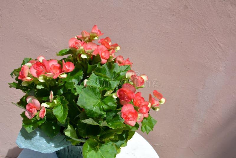 Begonie di fioritura conservate in vaso immagini stock libere da diritti