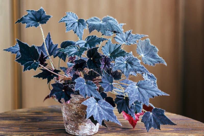 Begonie in einem alten Blumentopf auf hölzernem Hintergrund Begonie ist eine Klasse von beständigen Blütenpflanzen im Familie Beg stockbild