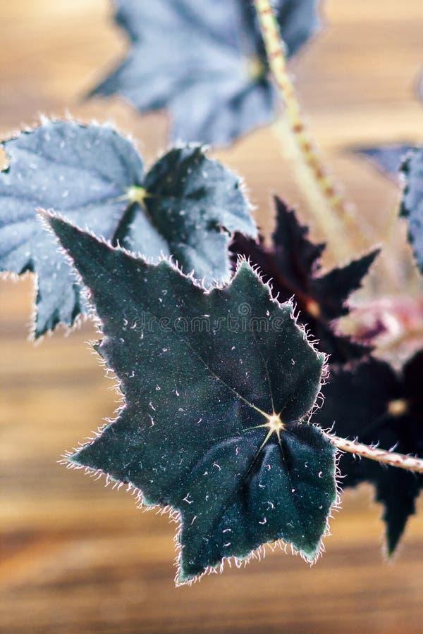 Begonie ist eine Klasse von beständigen Blütenpflanzen im Familie Begoniaceae Begonie blüht mit dunklen Samtblättern auf hölzerne stockfotos