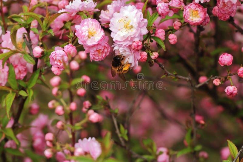 Begonie und Bienen stockfotos