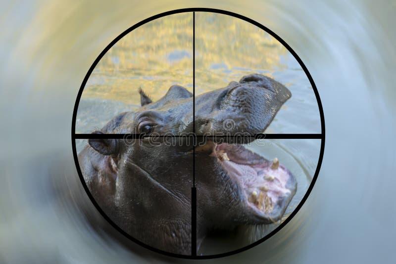 Begrepp av en ung manlig flodhäst som ses i crosshairsna av räckvidden av ett jägare- eller tjuvskytts gevär royaltyfria bilder