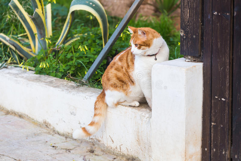 Begrepp av orange husdjur - och den vita strimmig kattkatten med den utomhus- kragen arkivfoto