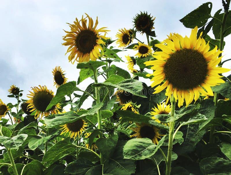 Begrepp för härlig attraktiv natur för solros fridsamt royaltyfri fotografi