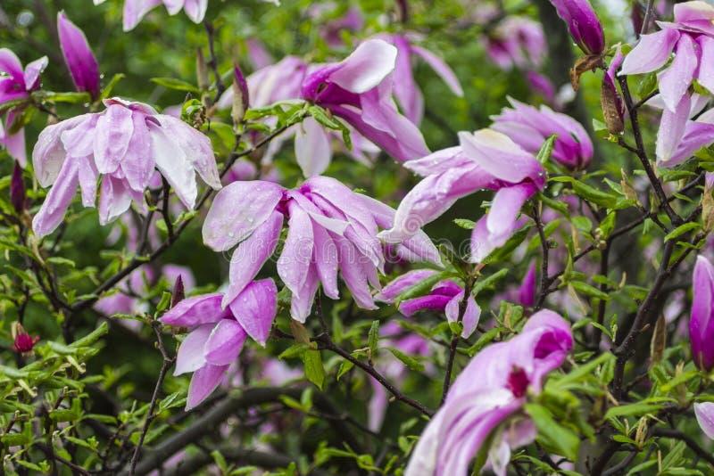 Begrepp för naturlig bakgrund: rosa magnoliablommor på trädfilialer, vit bakgrund royaltyfri fotografi
