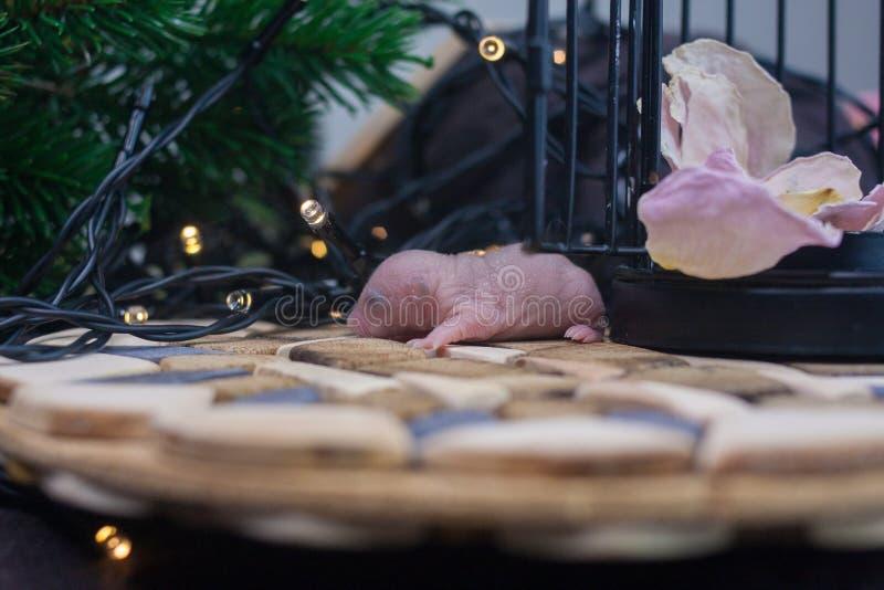 Begreppet av det första nya året Den lilla musen behandla som ett barn bakgrund av julgranen royaltyfri foto