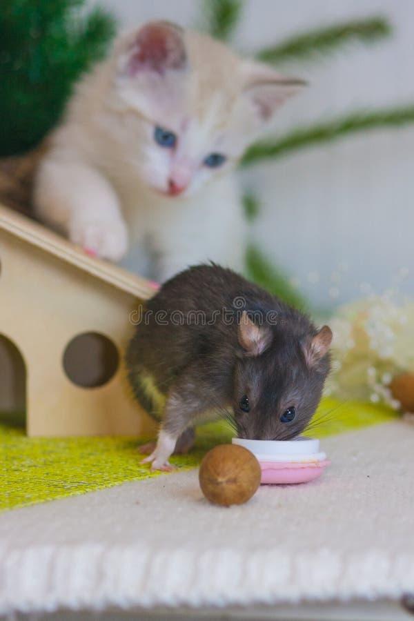 Begreppet av jakt katten h?ller ?gonen p? musen fotografering för bildbyråer
