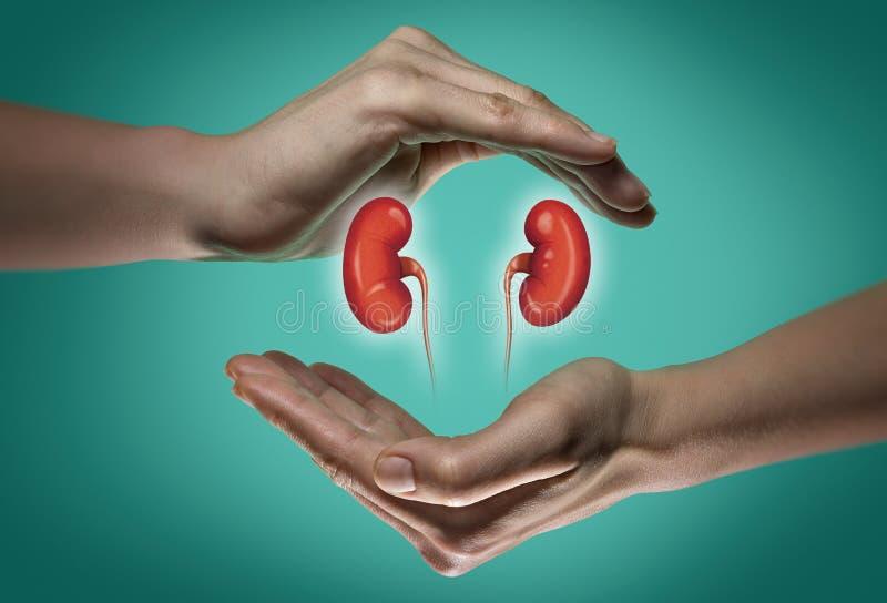 Begreppet av sunda njure arkivbild