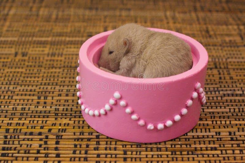 Begreppet gåva En liten råtta sitter i en rosa låda med pärlor arkivfoto