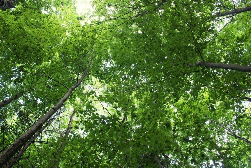 Begreppsmässig bild i småskog av träd med helthy sidor, med någon som upp till ser ljusa himlar bortom royaltyfri bild
