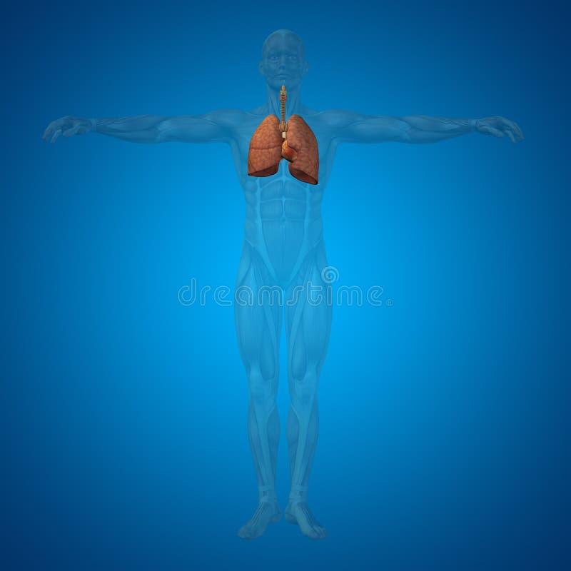 Begreppsmässigt anatomiskt respiratoriskt system för människa eller för man 3D stock illustrationer