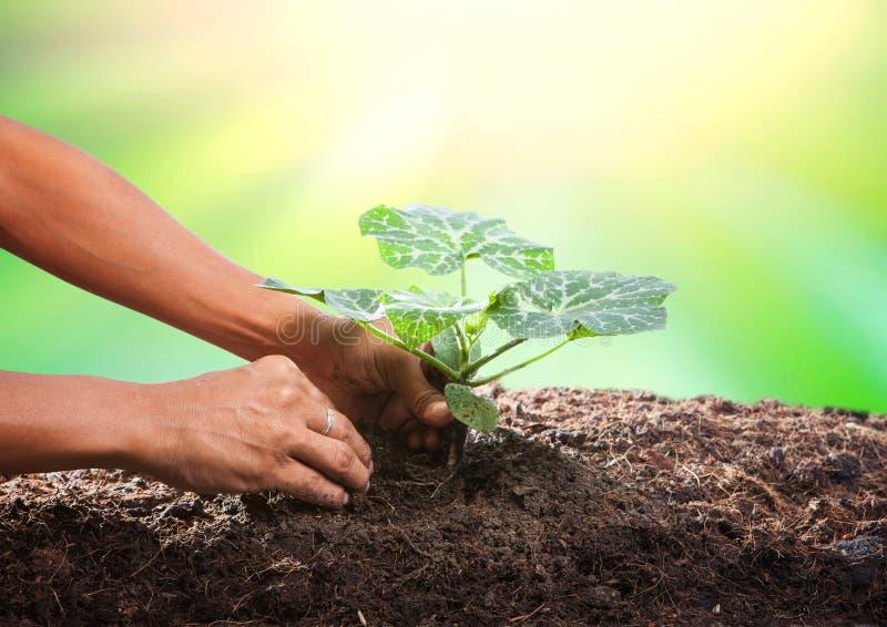 Begrifflich von der Hand, die Baumsamen auf schmutzigem Boden gegen Galan pflanzt stockbild