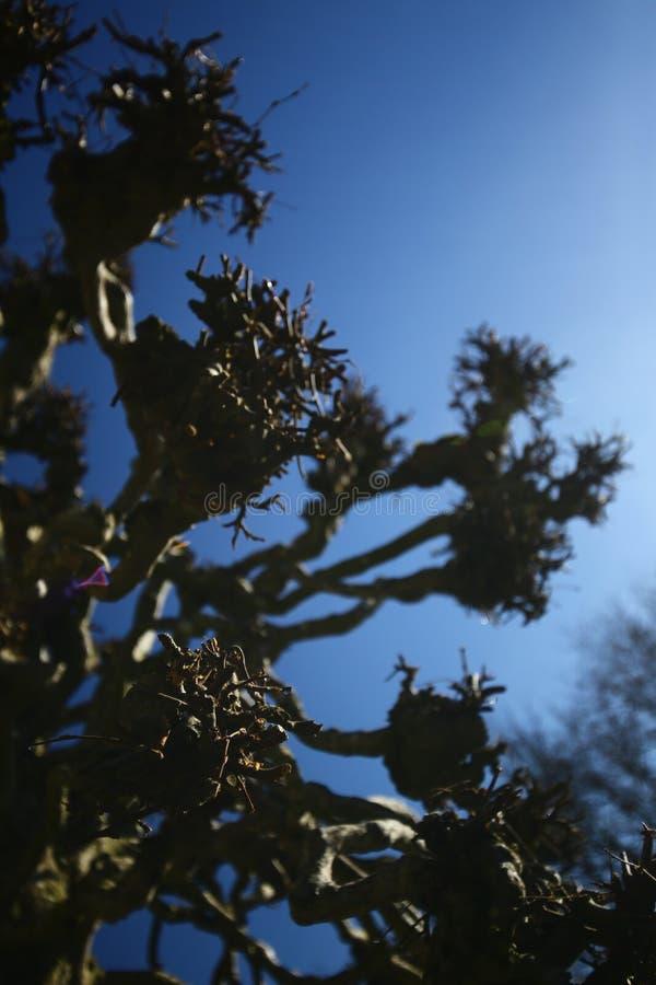 Begriffsschuß der bloßen Weide vor blauem Himmel stockbilder