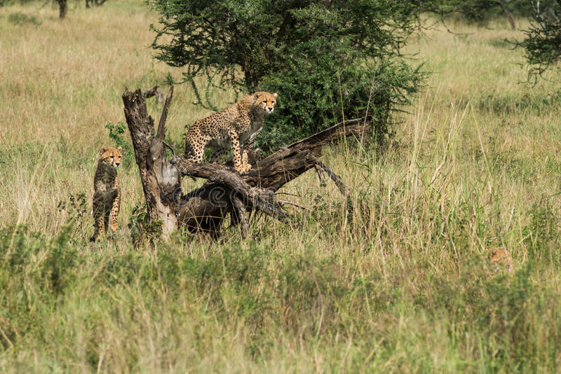 begynnande gepard på den Serengeti nationalparken som söker för mat, Tanzania, Afrika arkivfoton
