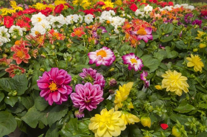 Trädgårds- lagerblommor royaltyfria foton