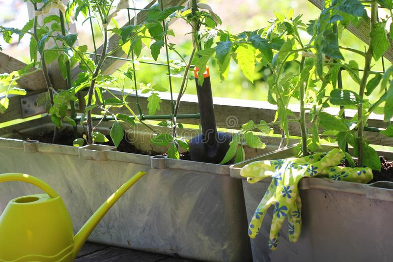 Beh?lterGem?seanbau Gem?segarten auf einer Terrasse Blume, Tomaten, die im Beh?lter wachsen lizenzfreies stockbild