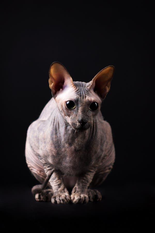 Behagfull donskoy katt arkivfoto