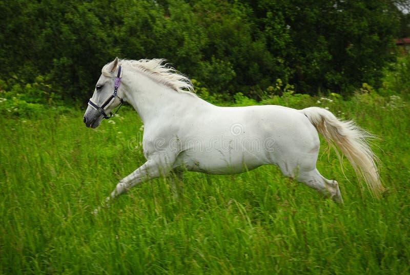 Behagfull vit häst i ett fält royaltyfria bilder