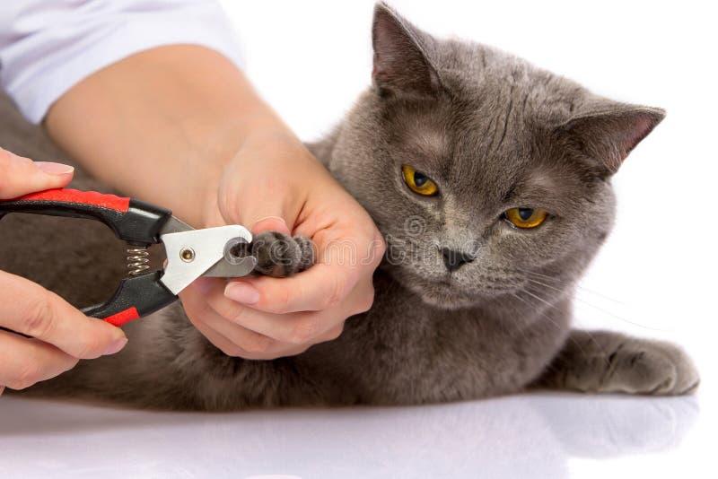 Behandeln Sie und eine britische Katze auf weißem Hintergrund stockfotos