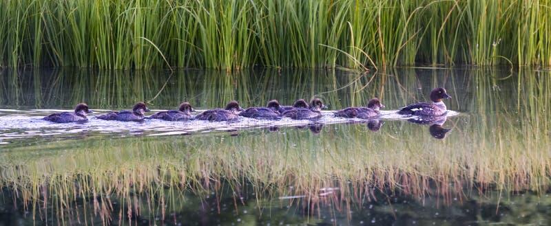 Behandla som ett barn änder som följer deras moder på gryning på en flod fotografering för bildbyråer