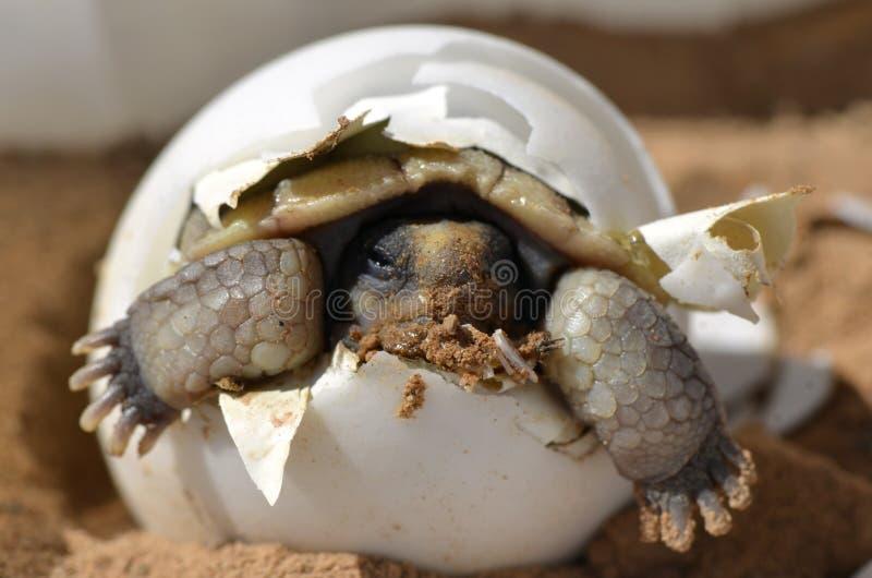 Behandla som ett barn ökensköldpaddan arkivfoton