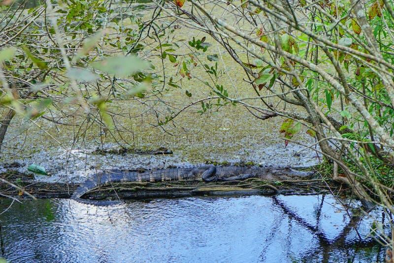 Behandla som ett barn alligatorn arkivfoton