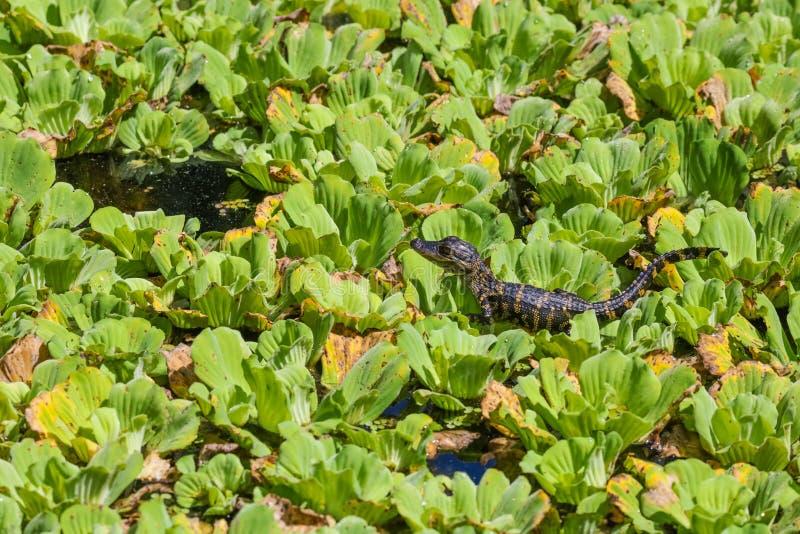 Behandla som ett barn alligatorn i det Florida tr?sket royaltyfria foton