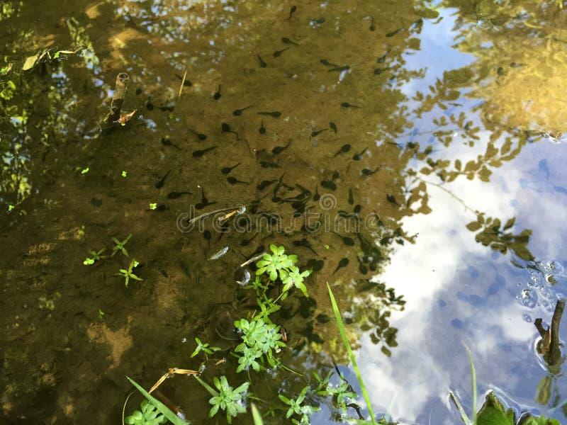 Behandla som ett barn amfibier i ett damm i en parkera royaltyfria bilder